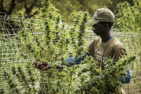 A man harvests industrial hemp for extraction.