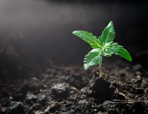 A hemp seedling just days after germination, the first step in how CBD oil is made.