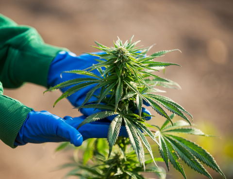 A person tending a hemp plant which will be used to create legal Delta 8 THC