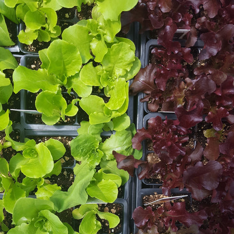 buy lettuce plants from Southview Greenhouse in Sudbury