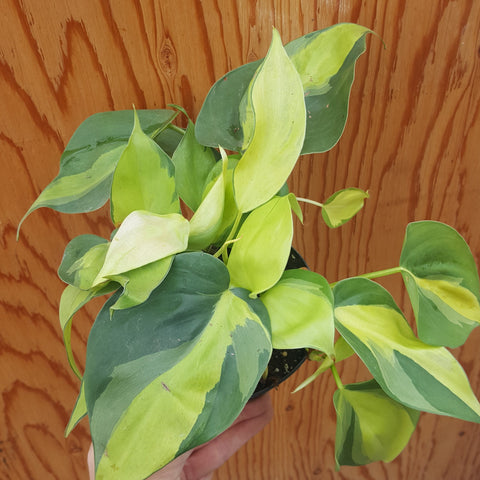 Philodendron Brazil 5""