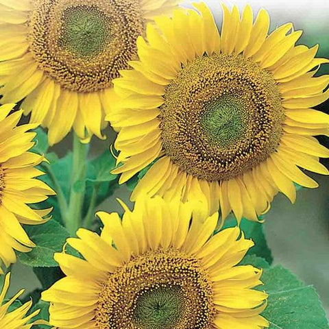 Seed - Sunflower Large Seeded Tall