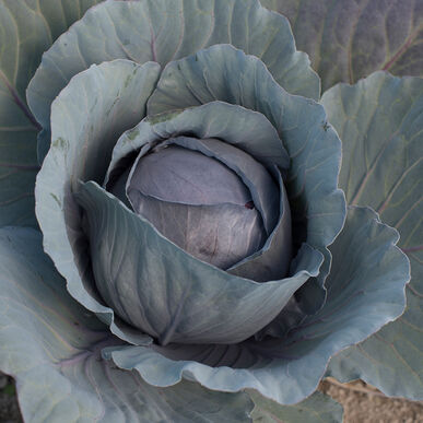 Organic Cabbage, Red Express