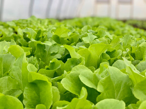 Organic Green Saladbowl Lettuce, Pickup Only