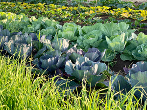 Organic Cabbage, Golden Acre