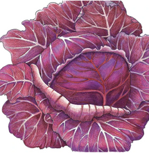 Load image into Gallery viewer, Organic Starter Plant: Cabbage, Express Red