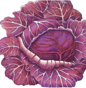 Organic Starter Plant: Cabbage, Express Red