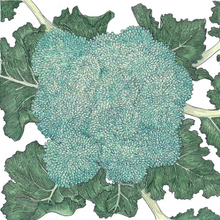 Load image into Gallery viewer, Organic Starter Plant: Broccoli, Calabrese