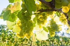 White grapes at a New Jersey vineyard and winery