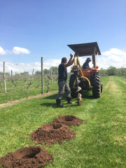 Drilling holes for the new vines