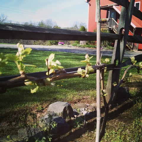 Budbreak at Unionville Vineyards