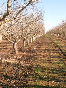 View of 25-year-old Pistachio Trees