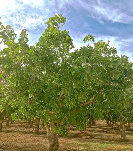 April Greenery in the ARO Pistachio Orchards following recent rain.