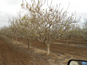 25-year-old Pistachio Trees