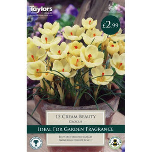 12 Cream Beauty Crocus Bulbs