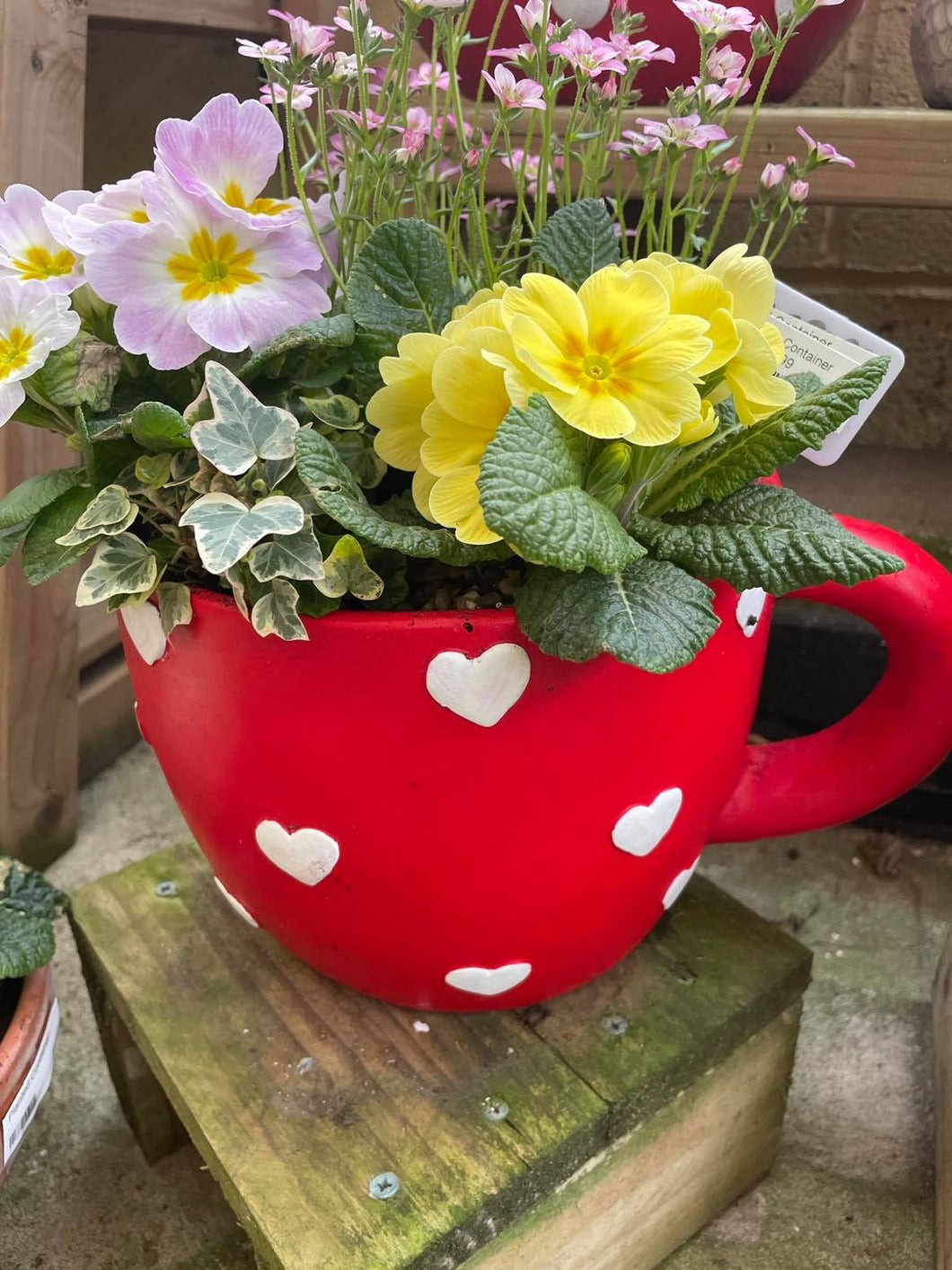 Teacup Plant - Including Plants  - Outdoor