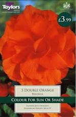 3 BEGONIA ORANGE DOUBLE 6-7 - bulbs