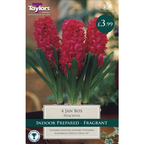 4 Jan Bos Hyacinth Bulbs