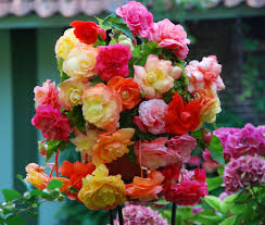 5 BEGONIA SPLENDIDE MIXED 4-5 - Bulbs