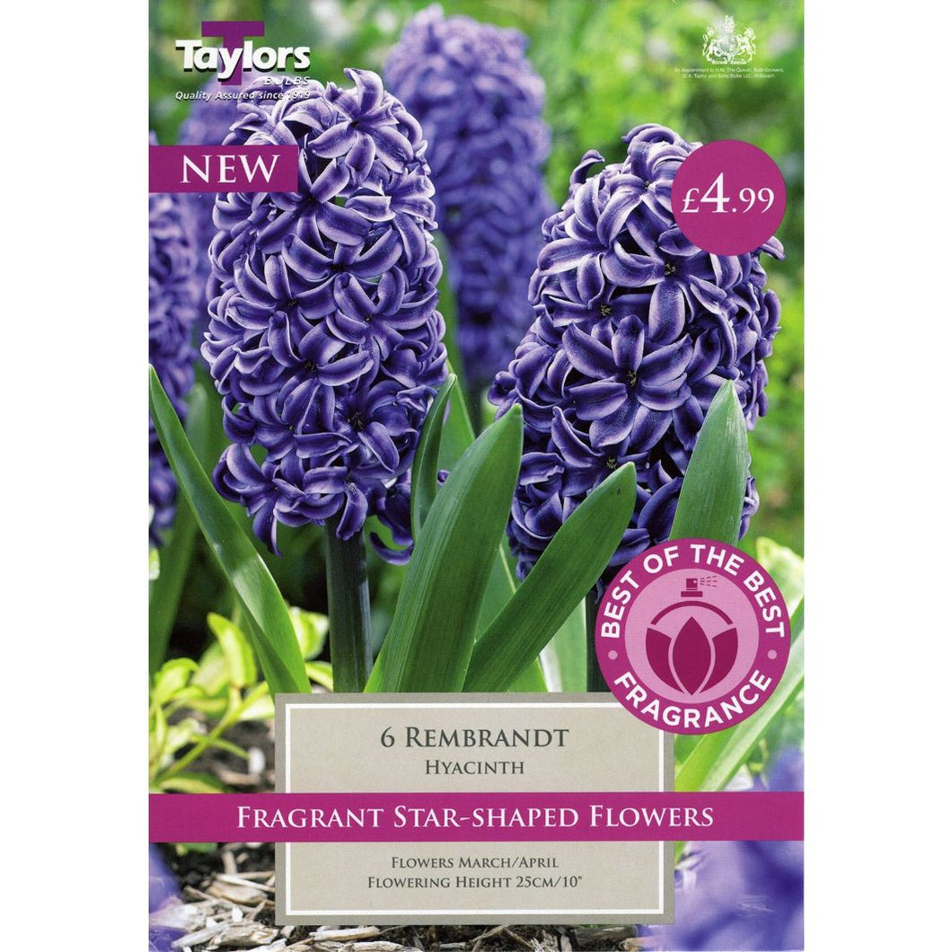 6 Rembrandt Hyacinth Bulbs
