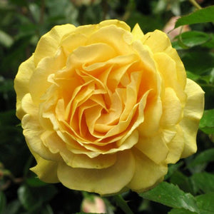 Absolutely Fabulous Floribunda Rose