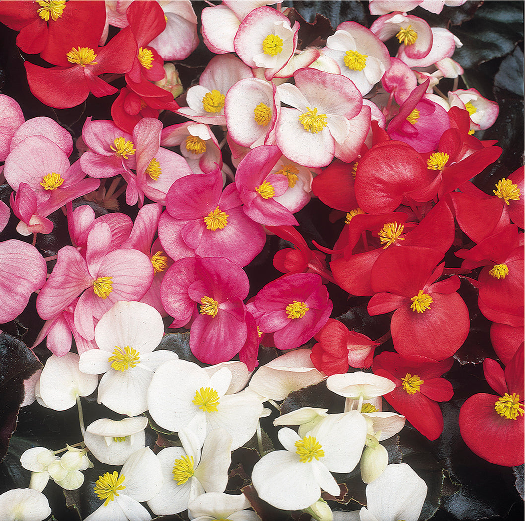 Begonia Devils Delight Mixed