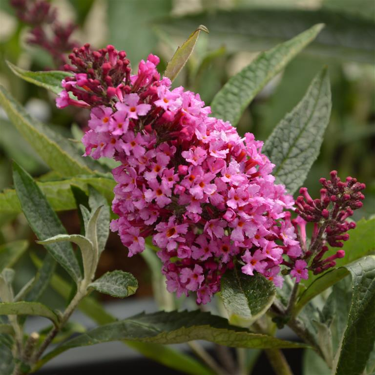 Buddleja Buzz Candy Pink