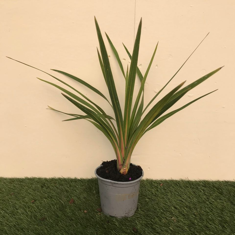 Cordyline Green - Small