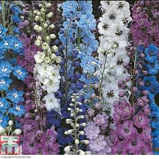DELPHINIUM Pacific Giants Mixed - Seeds