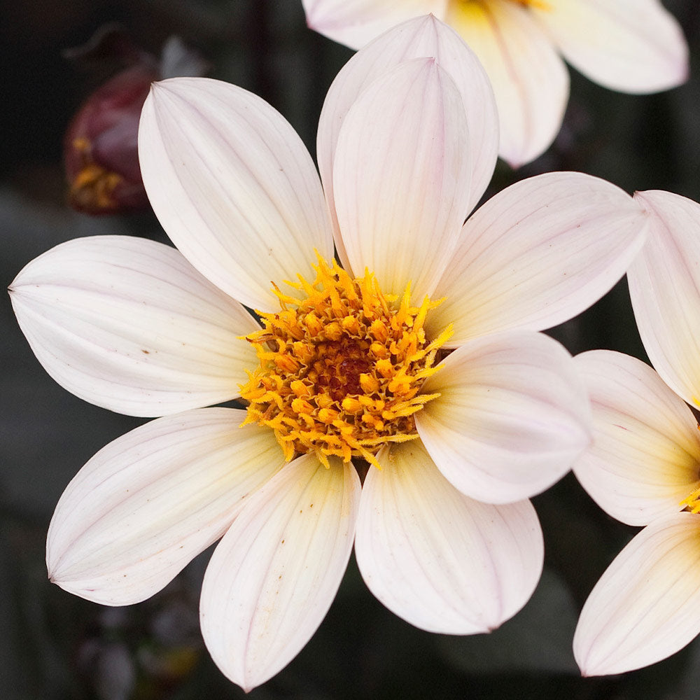 Dahlia - Happy Days - White