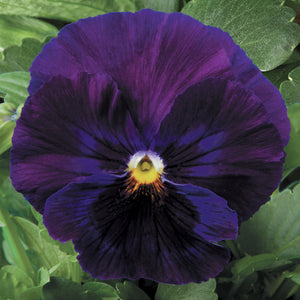 Pansy Pure Violet - 6 Pack