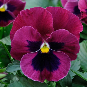 Pansy Rose Blotch