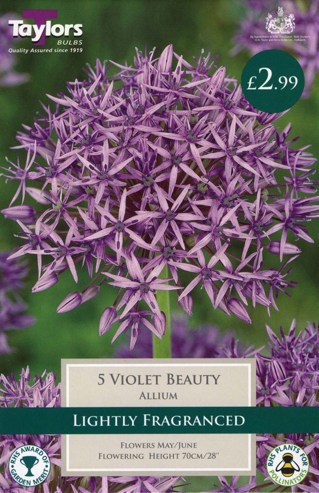 5 Violet Beauty Allium Bulbs