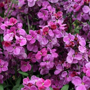 Wallflower Sugar Rush Purple Bicolour - 6 Pack