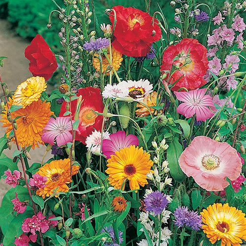 BUTTERFLY ATTRACTING Mixed Annuals - Seeds