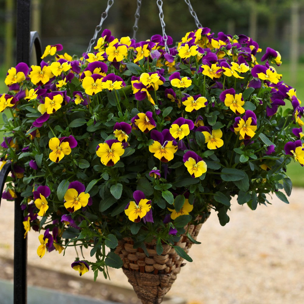 Trailing Pansy - Purple Wing - 6 Pack