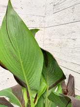 "Load image into Gallery viewer, 10"" Canna Cleopatra"