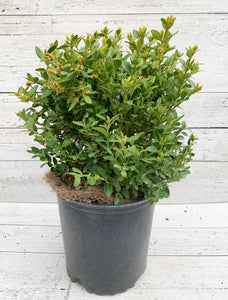 "10"" Green Velvet Boxwood Large"
