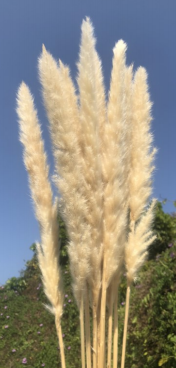 5' White Dried Pampas Grass (10piece bundle) - Florals and Foliage