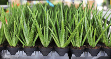 "Load image into Gallery viewer, 4"" Aloe Vera 02 For You"