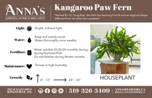 "Load image into Gallery viewer, 6"" Kangaroo Paw Fern"