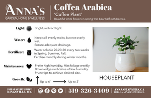 "4"" Coffee Arabica"