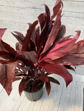 "Load image into Gallery viewer, 10"" Cordyline Auntie Lou"