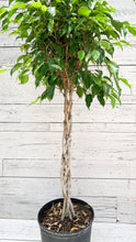"Load image into Gallery viewer, 10"" Ficus Benjamina Braid"