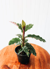 "Load image into Gallery viewer, 4"" Calathea Rufibraba"