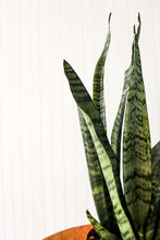 "Load image into Gallery viewer, 4"" Sansevieria Zeylanica"
