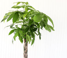 "Load image into Gallery viewer, 10"" Money Tree"