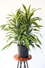 "Load image into Gallery viewer, 10"" Dracaena Lemon Lime"