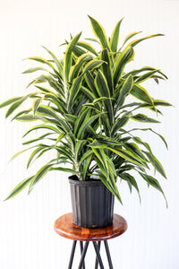 "10"" Dracaena Lemon Lime"