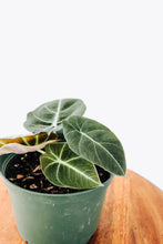 "Load image into Gallery viewer, 6"" Black Velvet Alocasia"